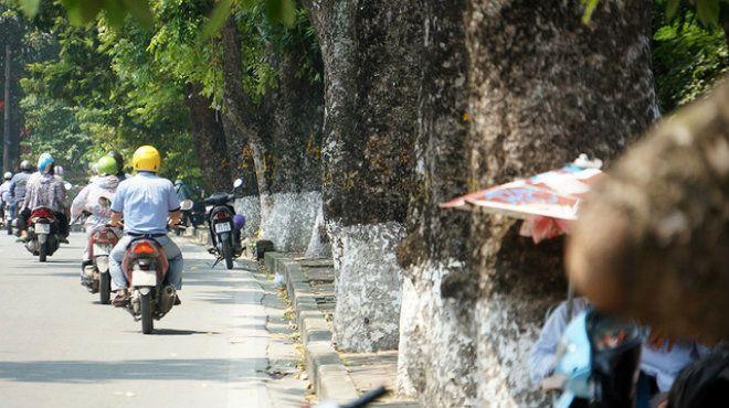 Ông Lê Huy Hoàng - Phó Trưởng ban quản lý ĐSĐT Hà Nội cho biết, trong toàn bộ dự án thi công tuyến đường sắt số 3, đoạn Nhổn - ga Hà Nội, trên 500 cây xanh phải di chuyển, cắt sửa. Riêng từ đoạn đền Voi Phục đến đường Trần Hưng Đạo, phải di dời số lượng tới hơn 440 cây.