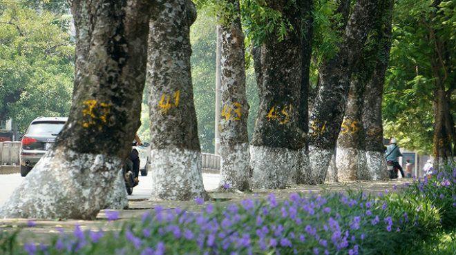 Mỗi thân cây được đánh số mới để tiện cho việc phân loại và quản lý sau khi được di dời khỏi nơi này.