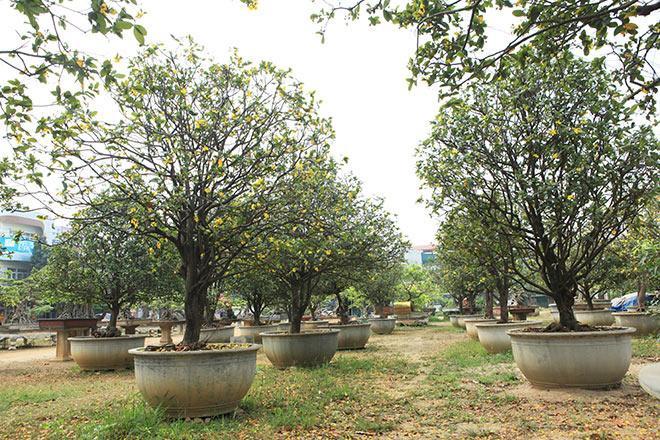 Nằm ở vị trí đắc địa tại thành phố Việt Trì (Phú Thọ), vườn mai tứ quý gồm 50 cây có tuổi đời trên 100 năm tuổi thuộc sở hữu của anh Phan Văn Toàn, một đại gia chơi cây cảnh có tiếng ở miền Bắc.