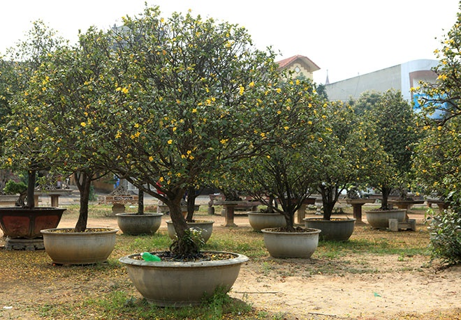 Theo lời anh Toàn, để có vườn mai tứ quý cổ thụ này, anh mất gần 10 năm đi khắp đất nước sưu tầm, mỗi huyện chỉ mua được 1 - 2 cây.