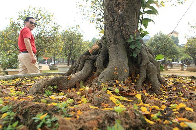 Những cây mai cổ thụ có đường kính gốc khoảng 60 - 70cm, chiều cao khoảng 2-2,5m, tán lá rộng từ 2 - 3m