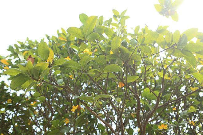 Mai tứ quý trồng ở Việt Nam thường có hai tầng cách, còn mai tứ quý nước ngoài chỉ có một tầng cánh, lá màu xanh đậm.