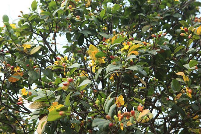 Khi nở, các cánh hoa có màu vàng, khi cánh hoa rụng thì phần còn lại màu đỏ