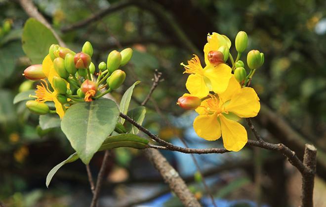 Hoa nở lần đầu có 5 cánh màu vàng…