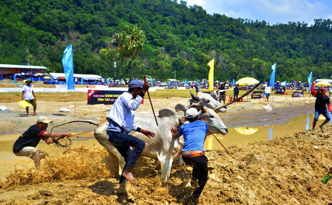 """Bên cạnh những """"chiến binh"""" dũng mãnh thì có những đôi bò khiến người điều khiển phải dở khóc, dở cười khi """"vô tư"""" chạy ra khỏi đường đua."""