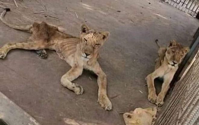 Năm con sư tử châu Phi bị bỏ đói tại một sở thú ở Sudan cũng những con thú hoang khác trong điều kiện vô cùng tồi tàn.
