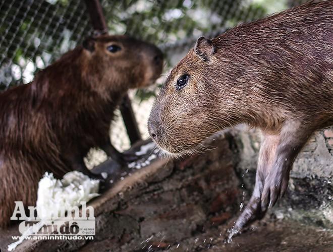 3 cá thể chuột lang nước đang được nuôi tại Hà Nội có trọng lượng 50kg, khoảng 2 tuổi, phù hợp với nhiều loại rau củ quả của Việt Nam