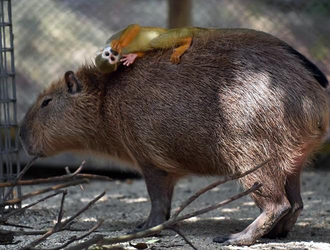Một con khỉ thoải mái khi nằm trên tấm lưng khổng lồ và êm ái của chú chuột khổng lồ.