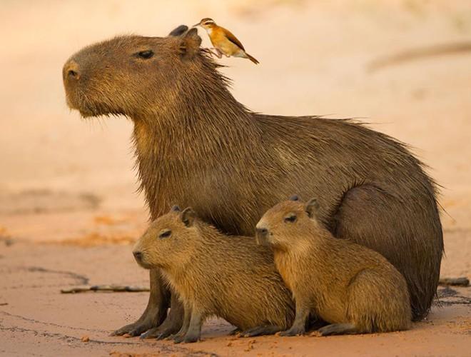 Khoảnh khắc đẹp được các nhiếp ảnh gia động vật trên thế giới ghi lại. Trong ảnh: Ba mẹ con nhà chuột lang nước trong khoảnh khắc yên bình của buổi hoàng hôn bên bờ sông gần Pantanal, Brazil.