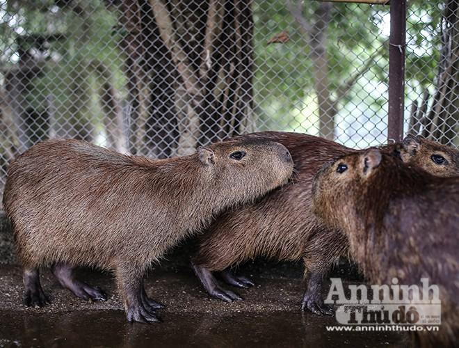 Loài chuột này có thuộc tính quần cư và rất thân thiện