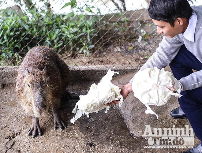 Hiện nay ở Vườn Chim Việt – Đơn vị nhập khẩu động vật tại Việt Nam (huyện Thanh Trì, Hà Nội) đang nuôi 3 cá thể chuột lang nước khổng lồ