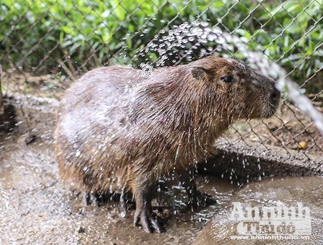 huột lang nước có thể ngủ trong nước, chỉ giữ mũi của chúng ra khỏi nước.
