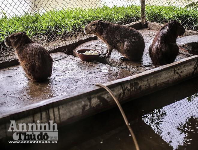 Mặc dù khá nhanh nhẹn trên đất liền (có khả năng chạy nhanh như một con ngựa), chuột lang nước chủ yếu sống trong môi trường nước. Chúng là những vận động viên bơi lội xuất sắc, và có thể chìm hoàn toàn dưới nước trong năm phút, một khả năng mà chúng sử dụng để né tránh kẻ thù.