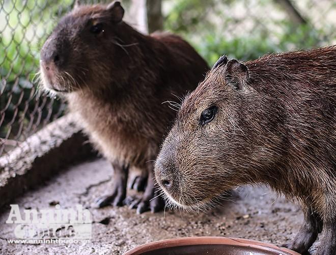 Chuột lang nước có nguồn gốc từ Nam Mỹ, được nhập khẩu từ châu Âu và hiện là loài chuột to nhất thế giới. Giống trưởng thành có thể nặng tới 100 kg. Thân hình to lớn nhưng chuột lang khổng lồ có thể chạy với vận tốc 30 – 35km/h.