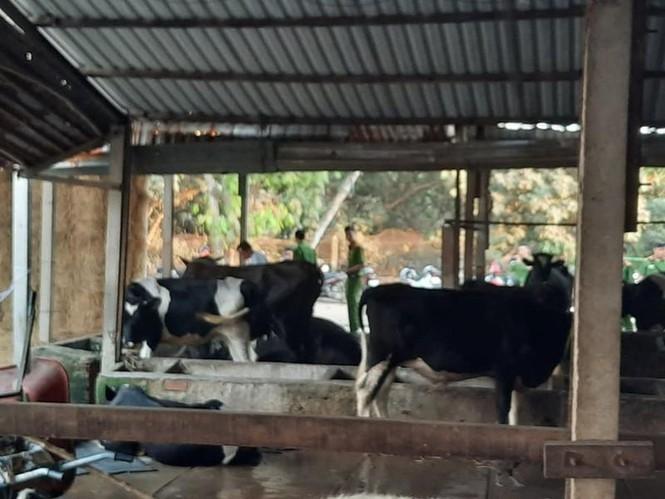 Con bò trúng đạn chết trong vụ nổ súng ở Củ Chi. Ảnh: báo Thời Đại
