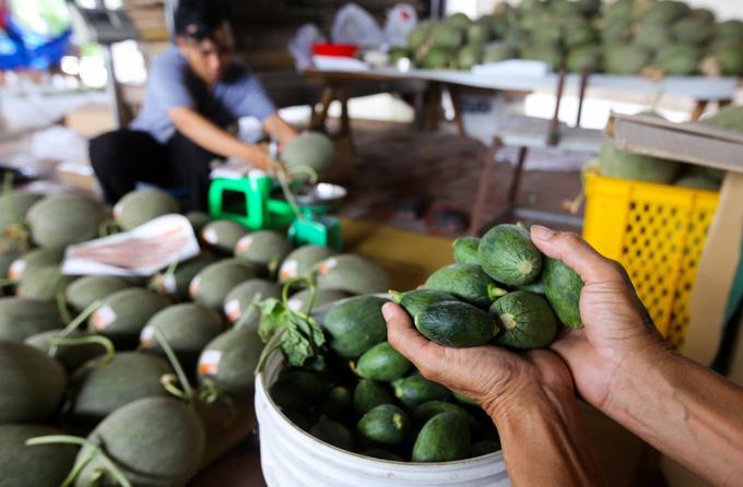 """Theo người trồng, khi mọc tự nhiên dưa lưới có thể cho ra 20 trái. Tuy nhiên trồng công nghệ cao, nhà vườn khống chế cho mỗi cây chỉ có một trái phát triển. """"Nếu quả ra nhiều thì sẽ lớn, chín không đồng đều, độ ngọt giảm đi. Trái vừa ra là được treo trên giá để không bị chạm xuống đất giúp tránh bị thối, dập nát… Số trái mọc thừa thì bị cắt đi"""", chủ nhà vườn cho biết. Những trái non bị cắt đi thường được tận dụng để làm muối chua hoặc chế biến thành món ăn."""