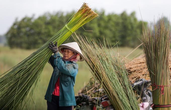 """Cỏ sau đó được bó thành từng bó khoảng 3 ký. """"Trung bình mỗi ngày, một người cắt được khoảng 80 bó, ai khỏe có thể gấp đôi"""", bà Trần Thị Phượng (57 tuổi) nói."""
