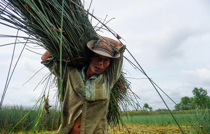 """Mỗi ngày, hai vợ chồng anh Nguyên cắt được khoảng 300 bó cỏ bàng. Anh cho biết, loại cỏ này không cần phải thu hoạch một lúc, cứ cắt """"cuốn chiếu"""" để có việc làm mỗi ngày."""