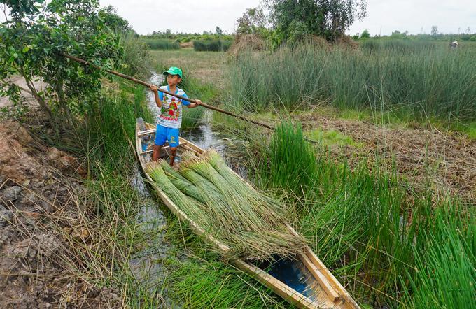 Ngoài xe máy, nông dân trồng cỏ bàng cũng dùng ghe đi dọc theo mương nước vận chuyển cỏ ra điểm tập kết. Bé Lê Thanh Hiền (11 tuổi, con chị Hiếu), vừa được nghỉ hè nên ngày nào cũng theo cha mẹ phụ làm cỏ bàng.