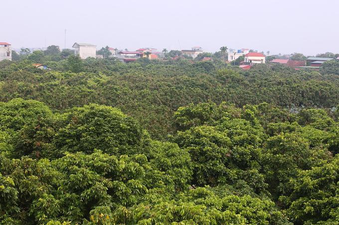 Năm 2018, Hưng Yên trồng hơn 4.300 ha nhãn, trong đó có khoảng 3.800 ha cho thu hoạch; sản lượng vụ nhãn ước đạt trên 41.000 tấn quả, tăng trên 10.000 tấn so với năm 2017.