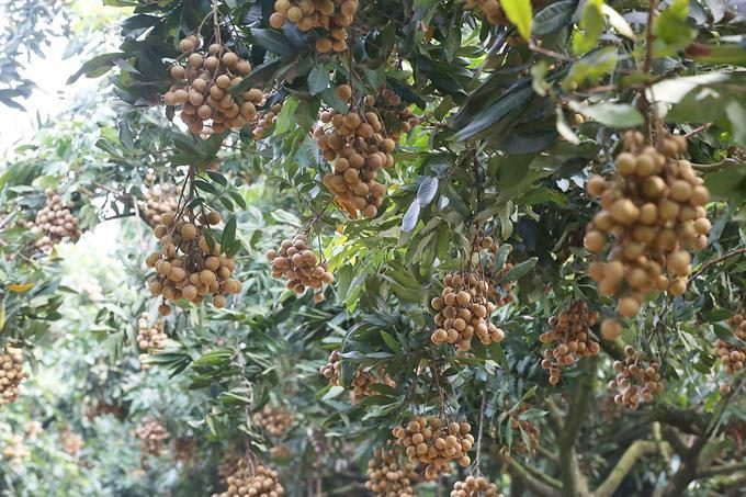 Nhãn được mùa, hầu hết các cây đều cho sản lượng quả lớn.