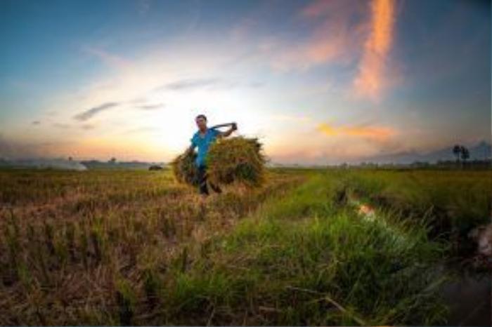 Hai năm trở lại đây, khi cơ khí hóa nông nghiệp về trên các làng quê, hình ảnh những chiếc máy gặt xuất hiện phổ biến trên các cánh đồng. Nhưng ở làng quê Tam Dương, người nông dân vẫn gặt lúa với xe bò kéo.