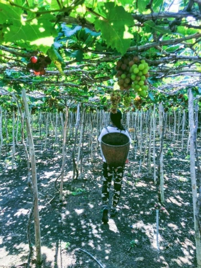 Không thể bỏ qua trải nghiệm thưởng thức nho tươi tại vườn ở Phan Rang.
