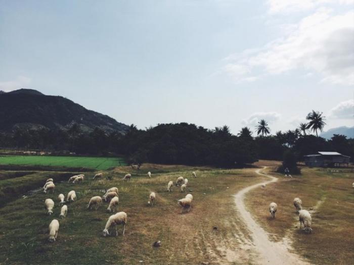 Một đồng cừu ở đoạn đầu đường vào Bình Lập (Khánh Hòa).