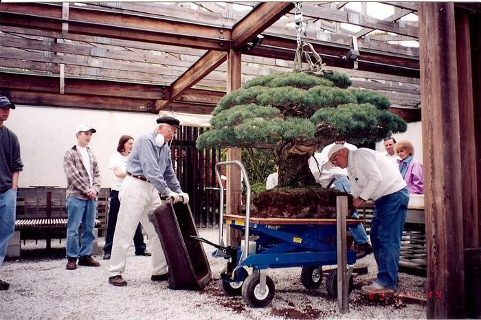 Sau chuyến đi dài,cây Bonsai được trồng lại tại Mỹ.