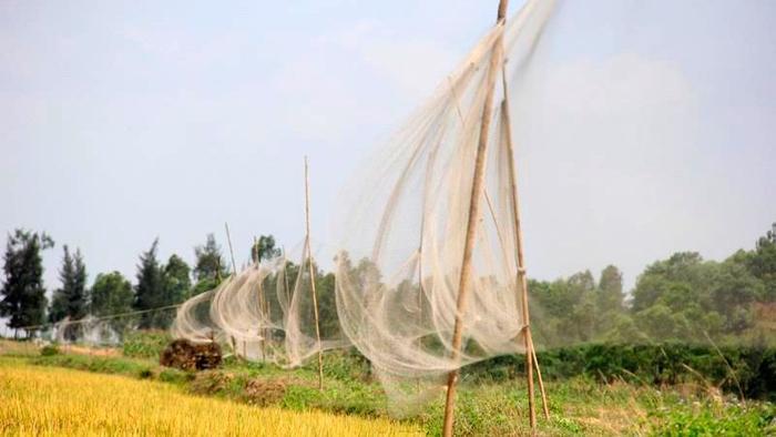 Mùa lúa chín cũng là mùa đánh bắt chim trời ở Nghi Xuân. Lưới giăng kín trên các cánh đồng