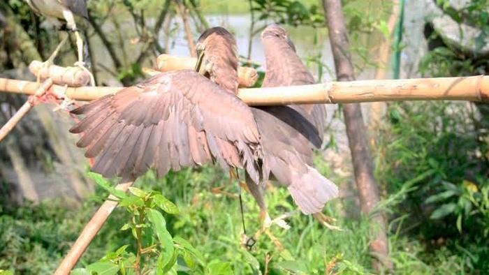 Sau vài giờ đặt bẫy, người dân sẽ quay lại để thu lượm các con chim mắc bẫy để đưa đi bán