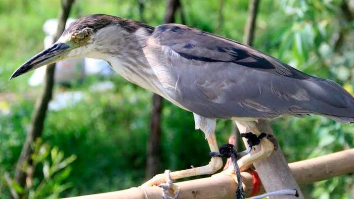 Những chú chim bị người dân móc mắt, hoặc lấy kim chỉ khâu mắt để biến thành chim mù. Chúng sẽ phát ra tiếng kêu để nhử đồng loại