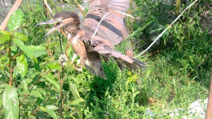Một con chim bị dính bẫy