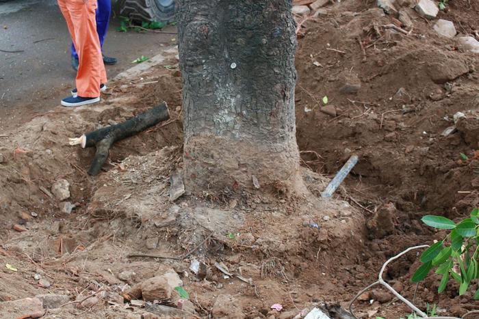 Trong gần 1.300 cây xanh thuộc diện di dời, chặt hạ có 986 cây xà cừ, 38 cây sấu, 65 cây hoa sữa, 11 cây phượng. Dự kiến đơn vị thi công sẽ chặt hạ 158 cây, giữ lại để cắt tỉa 142 cây và di chuyển khoảng gần 1.000 cây.