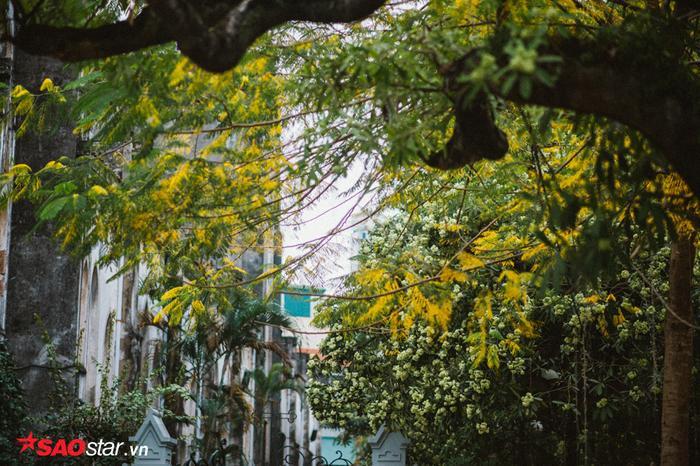 Khi nó đứng đơn lẻ, hoa không quá nhiều và xen lẫn với những tán cây màu vàng thế này, nhìn cũng nên thơ lắm chứ!