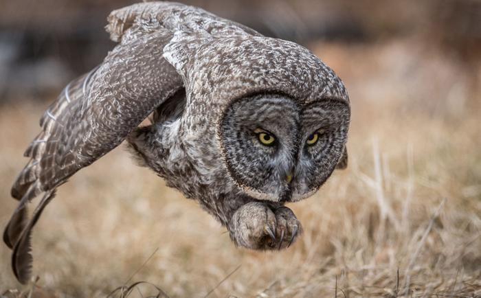 Con cú màu xám đang sà xuống săn mồi ở khu vực New Hampshire.Bức ảnh của tác giả Harry Colling đã giành giải thưởng được bình chọn nhiều nhất.