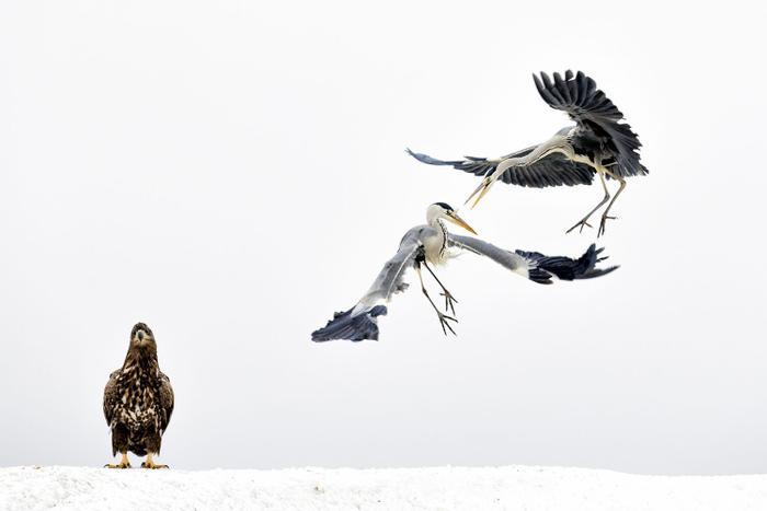 """Đứng thứ ba trong danh mục động vật hoang dã đã là bức hình của Bence Mate. Chú đại bàng trắng dường như không hề xao động trước cảnh """"giao đấu"""" của 2 con diệc."""
