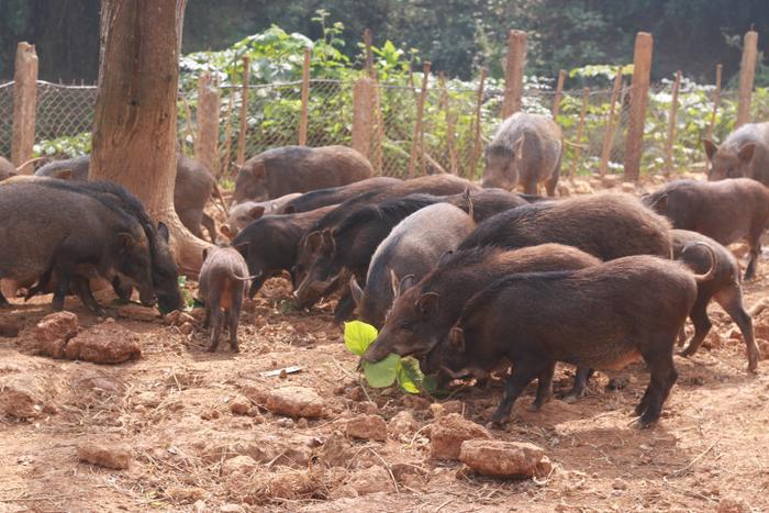 Đàn lợn rừng cận Tết rất đông người đến hỏi mua.