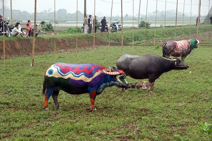 Được biết, sau khi tham gia lễ hội, trâu tiếp tục được người dân nuôi và phục vụ sản xuất hàng ngày.