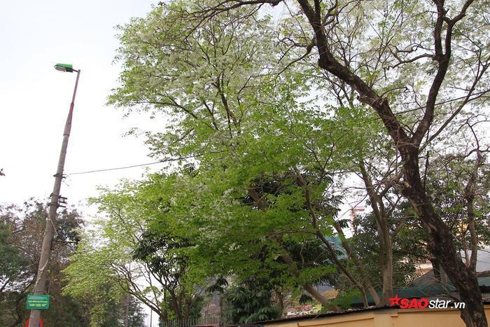 Những cây sưa cao, hoa nở kín, trùm lên nóc nhà người dân.