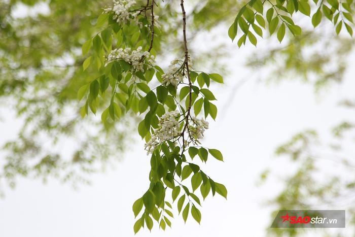 Tháng 3 vừa về, hoa sưa đã bung nở trắng muốt trên những cành cao.