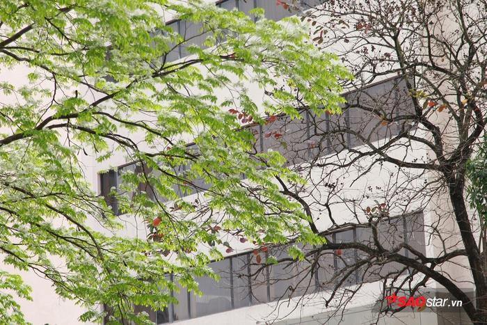 Màu trắng xen lẫn xanh non của cây sưa đan xen với các loại cây đang mùa thay lá tạo nên mảng màu đối lập trên đường phố.