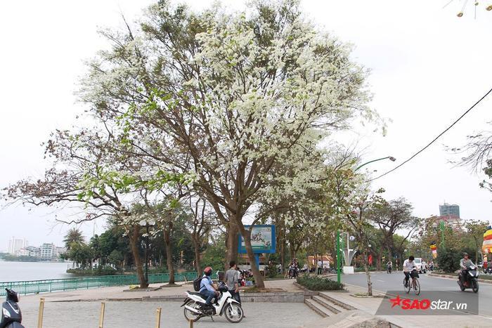 """Cây hoa sưa """"huyền thoại"""" trên đường Thanh Niên."""
