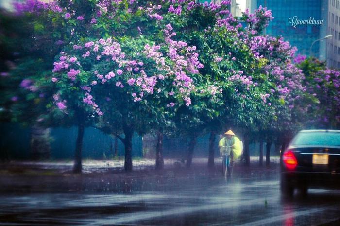 Từ thời gian cuối tháng 4, phố phường Hà Nội trở nên lãng mạn với những sắc tím của hoa bằng lăng. Sắc hoa ấy nhuộm tím cả một góc trời khiến cho tâm hồn ai cảm giác thư thái, bình yên đến lạ.