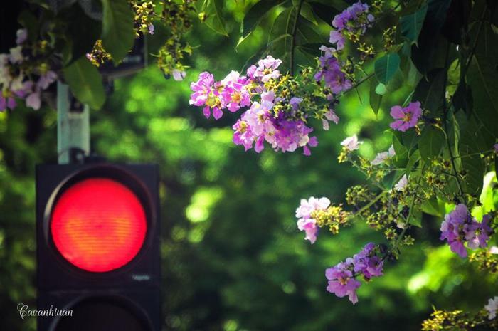 Người ta thường tìm đến con phố Nguyễn Thái Học, Kim Mã, Hoàng Quốc Việt, Trần Thái Tông… để thong dong từng bước chân dưới những tán hoa ấy.