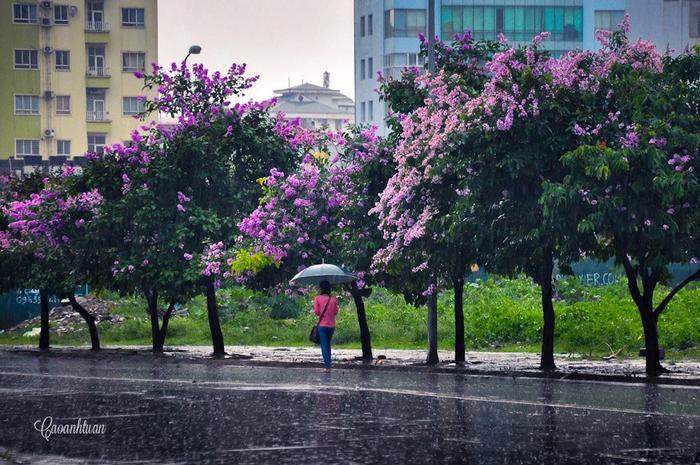 Hoa bằng lăng nở nhanh nhưng cũng chóng tàn, chỉ sau vài cơn mưa mùa hạ những cánh hoa đã nhạt dần rồi rụng. Vì thế thời điểm lý tưởng nhất để lưu giữ những khoảnh khắc ấn tượng của sắc tím mùa hè này là khoảng thời gian cuối tháng Tư.