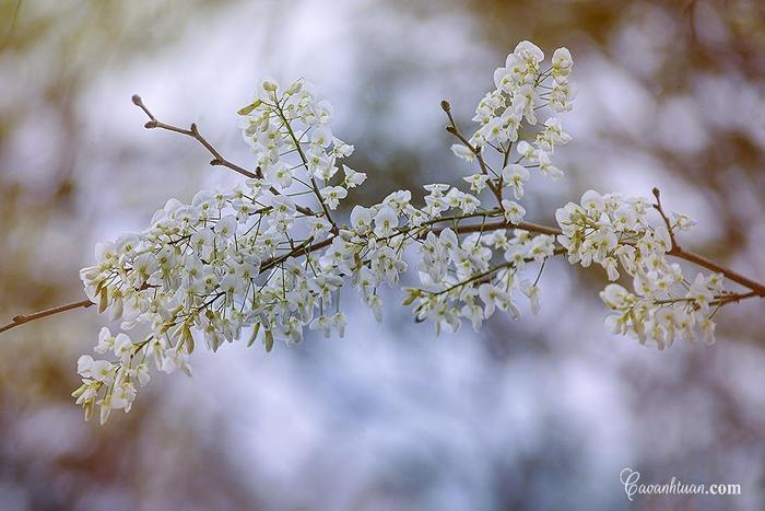 Những ngày hoa sưa bung nở trên những góc hồ, con phố là khoảng thời gian người ta xuống đường nhiều hơn để lưu lại những bức ảnh đẹp mê mẩn của một mùa hoa gây thương nhớ ở Hà Nội.