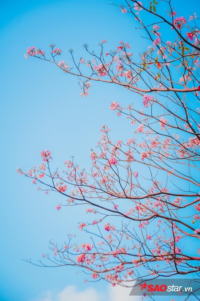 Những bông hoa nở rợp trên nền trời xanh ngăn ngắt tạo nên vẻ đẹp thi vị cho thành phố.