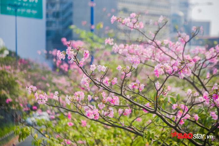Nhưng hoa nối hoa hết đợt này đến đợt khác nên kéo dài đến tận cuối tháng 5 mới tàn.