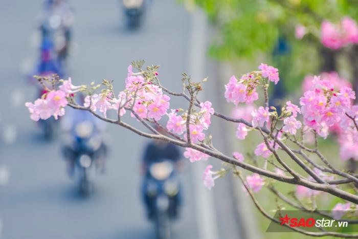 Chiếc hoa hình kèn, màu hồng nên có tên gọi dân dã là: Kèn hồng.